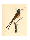 Orange-Breasted Sunbird, Anthobaphes Violacea Giclee Print by George Shaw