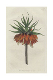 Crown Imperial, Fritillaria Imperialis Giclee Print by Sydenham Edwards