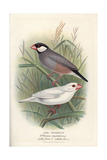 Java Sparrow, Lonchura Oryzivora Giclee Print by Frederick William Frohawk