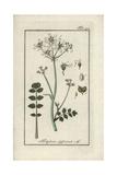 Hartwort, Tordylium Apulum Giclee Print