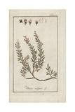 Common Heather, Calluna Vulgaris, Giclee Print