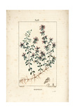Creeping Thyme or Wild Thyme, Thymus Serpyllum Giclee Print by Pierre Turpin