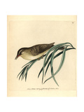 Willow Warbler, Phylloscopus Trochilus Giclee Print by Frederick Nodder