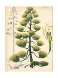 American Aloe or Century Plant, Agave Americana Reproduction procédé giclée par M.A. Burnett