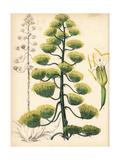 American Aloe or Century Plant, Agave Americana Giclée-Druck von M.A. Burnett