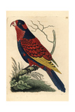 Red and Blue Lory, Eos Histrio Endangered Giclee Print by Richard Nodder