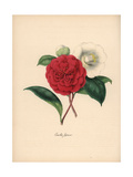 Japanese Camellia, Camellia Japonica Giclee Print by M.A. Burnett