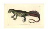 Amboina Sail-Finned Lizard, Hydrosaurus Amboinensis Giclee Print by Richard Nodder
