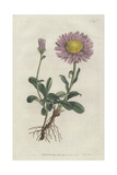 Alpine Aster, Aster Alpinus Giclee Print by Sydenham Edwards