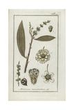 Cajeput or Tea Tree, Melaleuca Leucadendra Giclee Print