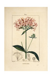 Common Soapwort, Saponaria Officinalis Giclee Print by Pierre Turpin