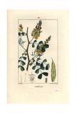 Logwood Tree, Haematoxylum Campechianum Giclee Print by Pierre Turpin