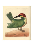 Bay-Headed Bee-Eater, Merops Leschenaulti Giclee Print by Richard Nodder