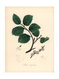 Common Small-Leaved Elm Tree, Ulmus Campestris Giclee Print by M.A. Burnett