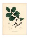 Common Small-Leaved Elm Tree, Ulmus Campestris Giclee Print by M.A. Burnett