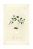 Shining Pennywort, Hydrocotyle Nitidula Giclee Print by William Jackson Hooker