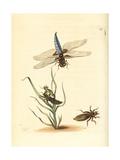 Broad-Bodied Chaser or Darter, Libellula Depressa Giclee Print by Richard Nodder