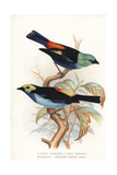 Seven-Colored Tanager and Paradise Tanager Impression giclée par Frederick William Frohawk