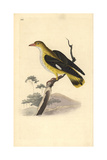 Golden Oriole (Female), Oriolus Oriolus Reproduction procédé giclée par Edward Donovan