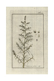 Opposite Leaved Saltwort, Salsola Soda Giclee Print