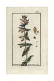 Wood Cow-Wheat, Melampyrum Nemorosum Giclee Print