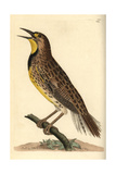 Eastern Meadowlark, Sturnella Magna Giclee Print by Frederick Nodder