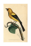 Jamaican or Cayman Oriole, Icterus Leucopteryx Giclee Print by Frederick Nodder
