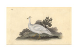 White Crested Pea-Fowl (Female), Pavo Cristatus Giclee Print by Edward Donovan