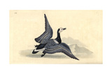 Barnacle Goose, Branta Leucopsis Giclee Print by Edward Donovan