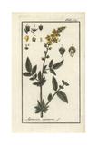Agrimony or Sticklewort, Agrimonia Eupatoria Giclee Print