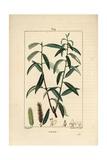 White Willow Tree, Salix Alba Reproduction procédé giclée par Pierre Turpin