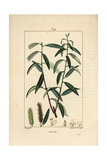 White Willow Tree, Salix Alba Giclée-Druck von Pierre Turpin