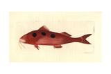 Spotted Goatfish, Pseudupeneus Maculatus Giclee Print by Richard Nodder