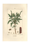 Cascarilla or Grannybush, Croton Eluteria, with Section Through Bark Giclee Print by Pierre Turpin