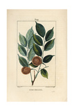 Dragonsblood or Paduak Tree, Pterocarpus Officinalis Giclee Print by Pierre Turpin