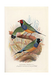 Gouldian Finch, Erythrura Gouldiae Giclee Print by Frederick William Frohawk
