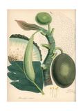 Breadfruit, Artocarpus Altilis Giclee Print by M.A. Burnett