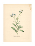 True Forget-Me-Not, Myosotis Palustris Giclee Print by M.A. Burnett