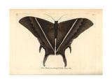 Lyssa Patroclus Moth Giclee Print by George Shaw