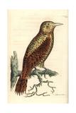 Rufous Woodpecker, Micropternus Brachyurus Giclee Print by Richard Nodder