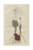 Canada Puccoon or Bloodroot, Sanguinaria Canadensis Giclee Print by Sydenham Edwards