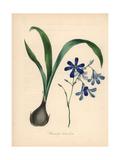Conanthera Trimaculata Giclee Print by M.A. Burnett