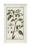 Styrax or Stacte, Styrax Officinalis Giclee Print