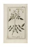Jasmine, Jasminum Officinale Giclee Print