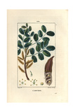 Carob Tree or Saint John's Bread, Ceratonia Siliqua Giclee Print by Pierre Turpin