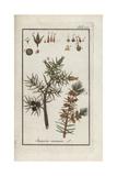 Juniper Tree, Juniperus Communis Giclee Print