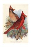 Northern or Virginian Cardinal, Cardinalis Cardinalis Impression giclée par Frederick William Frohawk
