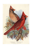 Northern or Virginian Cardinal, Cardinalis Cardinalis Giclee Print by Frederick William Frohawk