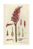 Latin American Lady Orchid, Stenorrhynchos Speciosum Giclee Print by William Jackson Hooker