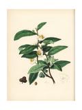 Tea, Camellia Sinensis Giclee Print by M.A. Burnett